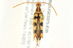 Long-horned beetle (Strangalia luteicornis) collected in Point Pelee National Park, Ontario, Canada, photographed at the Biodiversity Institute of Ontario (sample id: BIOUG03375-E05; specimen record: http://www.boldsystems.org/index.php/Public_RecordView?processid=CNPPE1492-12; BIN: http://www.boldsystems.org/index.php/Public_BarcodeCluster?clusteruri=BOLD:AAF3276)