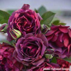 """本日の薔薇""""  ^^  ライラ[Laylah] 日本 木村卓功作 2016年  ライラとはアラビア語で「夜」。千夜一夜物語(原名=Alf layla wa layla)に登場するふたりの長き夜物語をイメージしたバラ。深い闇のような紫を帯びた黒赤色は、弁先が尖ったエキゾチックな花型と相まって情熱的。ダマスクにライチなどフルーツ香が混ざる強香種。樹勢が良く、強健に育ちます。交配親はシェエラザードにオデュッセイア。両親の特性を受けついだ優秀なバラです。  花径:7~8cm 樹高:1.2~1.4m 花季:四季咲き その他:香⇒ゆたかな香り  ※京阪園芸ガーデナーズのロサオリエンティスのバラはこちらから →http://www.keihan-engei-gardeners.com/fs/keihangn/c/rosaorientis"""