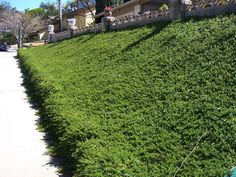 This fast growing groundcover is great for sunny slopes. Each plant rapidly grows out to a 5' diameter. Plant Creeping Myoporum every 24 in...