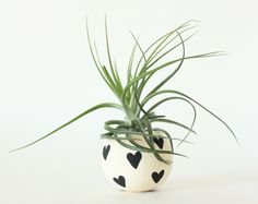 Air Plant Planter with Air Plant - Black Hearts.  Valentine's Day Gift on Etsy, $16.00
