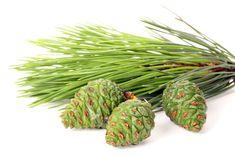 Borovicové šišky vás nabijú energiou a zdravým. Keď pôjdete do lesa, určite si ich zopár zoberte so sebou domov. - Báječné zdravie Asparagus, Green Beans, Vegetables, Fruit, Studs, Vegetable Recipes, Veggies