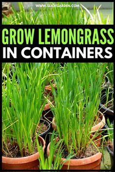 How To Grow Lemongrass In Pots | Slick Garden Organic Mulch, Organic Compost, Gardening For Beginners, Gardening Tips, Sustainable Gardening, Balcony Gardening, Gardening Gloves, Grow Lemongrass, How To Grow Lemon