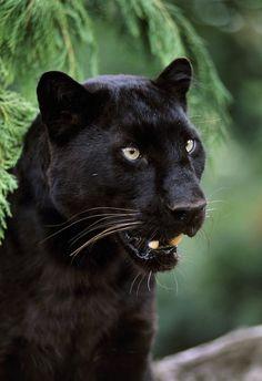 Rick Lafleur's cat in Soulwood series by Faith Hunter Beautiful Cats, Animals Beautiful, Black Panther Comic, Panthera Pardus, Black Jaguar, Majestic Animals, Cute Baby Animals, Wild Animals, Animal Photography