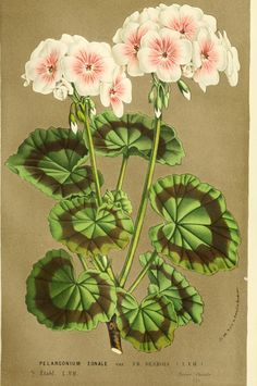 What do you know about geraniums?