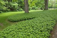 Ground cover lawn pachysandra   Plant & Flower Stock Photography: GardenPhotos.com