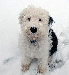 """Este es mi nuevo perro que vive con nosotros se llama """"MORGAN"""" es un cachorro de viejo pastor ingles, tiene 4 meses."""