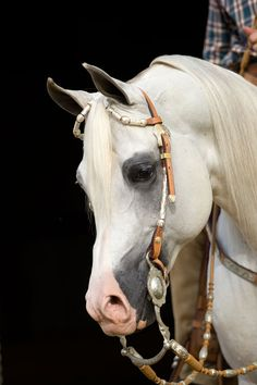 Kordelas - Polish Arabian stallion - OMGosh, I personally know the people that own this horse...I have actually been inside his stall and hugged this horse...this made my day to see this on pinterest!  Dick and Christine you ROCK!!!!!!