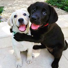 labrador puppy labrador puppies or retriever puppies labrador black labrador ret. - labrador puppy labrador puppies or retriever puppies labrador black labrador retriever temperament - Black Labrador Retriever, Retriever Puppy, Labrador Dogs, Labrador Retrievers, Golden Retrievers, Cute Dogs And Puppies, I Love Dogs, Doggies, Adorable Puppies