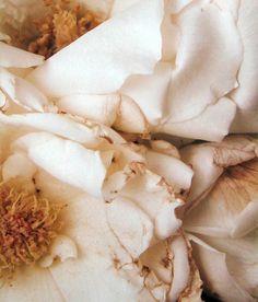 White Roses - Chris Enos, 1980