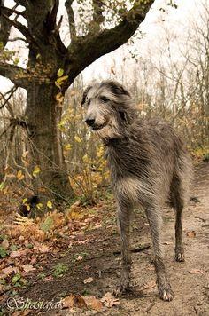 Lobero irlandés (Irish wolfhound) - El Cazador de lobos irlandés, Lebrel Irlandés o Lobero Irlandés es una raza canina que proviene de Irlanda, siendo la raza de perro con estatura media más alta. Un macho adulto alcanza una talla promedio de entre 81 y 86 cm a la cruz. [Wikipedia]