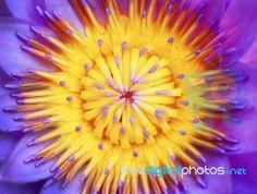 """Blue Water Lily"" by koratmember at FreeDigitalPhotos.net"