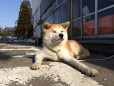 Japanese Akita, Japanese Dogs, Cute Puppies, Cute Dogs, Japanese Dog Breeds, A Dog's Tale, Hachiko, Akita Dog, Awesome Dogs