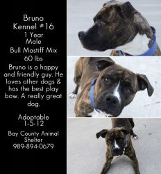 Bruna is an adoptable Bullmastiff Dog in Bay City, MI. To adopt a dog or cat from the shelterthe process is as follows; if the animal is available for immediate adoption, you will be given a copy of ...