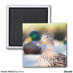 Female Mallard 2 Inch Square Magnet