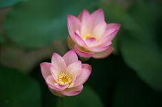 ᘡηᘠ Water Flowers, Lotus Flowers, Pretty Little, Greenery, Natural Beauty, Bloom, Rose, Plants, Nature