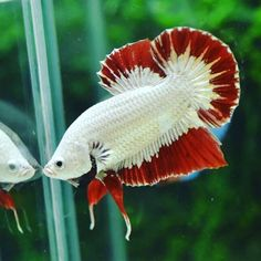 Knowing All Types Of Betta Fish - By Tail, Pattern And Color With Photo And Description - The betta fish is also called Siamese fighting fish is one of the popular fish are keeping by fish hobbies. Tropical Fish Aquarium, Fish Aquariums, Aquarium Fish Tank, Fish Gallery, Betta Fish Types, Beta Fish, Siamese Fighting Fish, Fish Patterns, Freshwater Aquarium