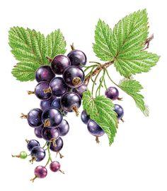 Watercolor berries on Behance