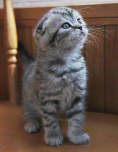 Scottish Fold grey-and-white striped kitten. Awwwwwwww....