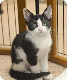 09/24/2016 SUPER URGENT KITTENS TO ADOPT Philadelphia, PA - Domestic Shorthair, ADOPT Macha, I would be happiest being adopted with one of my siblings. Adorable big eats, silly, playful, curious kitty, likes to sit high up. http://www.adoptapet.com/pet/16220953-philadelphia-pennsylvania-kitten