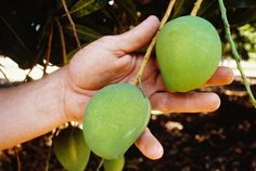 How to Grow Mango Trees From Seed