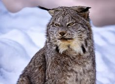 "Canada lynx | The lynx has large ""snowshoe"" like feet that enables it to walk on top of deep, soft, snows."