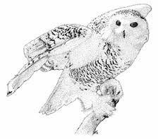 Resultado de imagem para coruja das neves voando