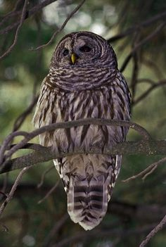 Here we go again ,,, Mans interference with nature because > Feds move ahead with plans to kill barred owls — to save spotted owls - U.S. News