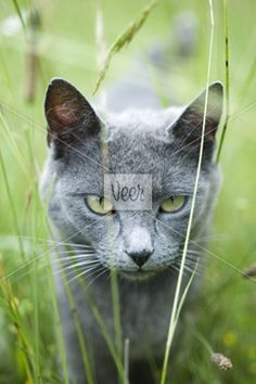 Cat walking through grass, staring at camera Stock Photo