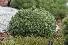 Kigi Nursery - Picea glauca ' Blue Planet ' Miniature Alberta Spruce, $20.00 (http://www.kiginursery.com/picea-glauca-blue-planet-miniature-alberta-spruce/)