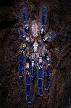 Poecilotheria Metallica is a species of Tarantula ~ By Tunedbeat