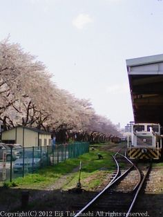 sakura flower Cherry tree train