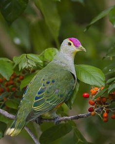 Rose-crowned Fruit Dove (Ptilinopus regina) Australia and the Islands of Indonesia