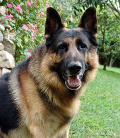 German-Shepherd dog