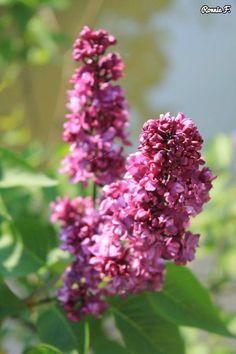Purple flower #flower #nature #country #scenery #beauty #purple