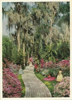 Azalea Time in Cypress Gardens  Winter Haven, Florida  The brilliant flowers bloom along the winding trail of this famous attraction and the the southern belles pose in hoop skirts of the old south