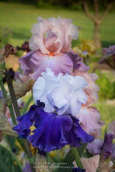 Over Alaska and Bon Appetit Bearded Irises © 2013 Patty Hankins