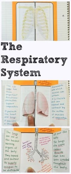 Students create a model of the Respiratory System for their life science interactive notebooks. Explore the complete Human Body Interactive Notebook covering concepts with engaging activities, mini quizzes and teacher notes. Science Curriculum, Science Biology, Science Classroom, Science Lessons, Science Education, Teaching Science, Science Activities, Life Science, Interactive Activities