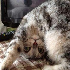 Gato Capoeirista