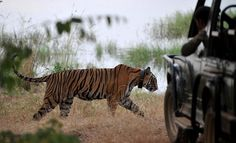 A tiger is seen during a jungle safari at the Ranthambore National Park in India.