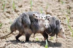 A heavy load for a female possum. Photo by Herman Nakadarta