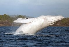 Rare white humpback whale.