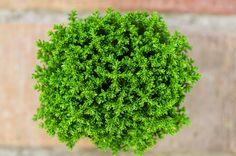 Hebe Green Globe plant by WonderMe on Creative Market