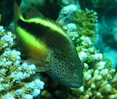 Forster's Hawkfish - Red Sea