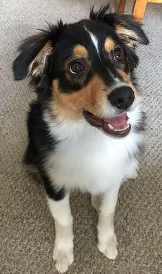 Image Result For Aussie Bernese Mountain Dog Mix Australian