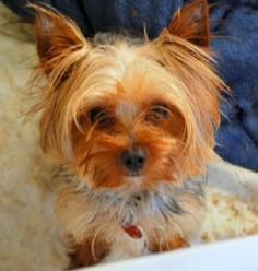 Nene is an adoptable Yorkshire Terrier Yorkie Dog in Martinsburg, WV. Please contact Pat in Pearisburg, Va ( nmtnrescue@gmail.com ), (540) 599-5510 for more information about this pet. No first time d...