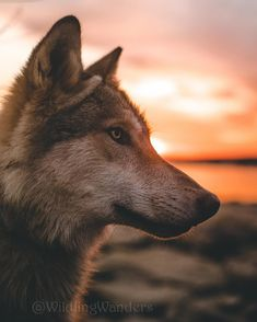 There's just something about sunsets this time of year ? - Belezza,animales , salud animal y mas Animals And Pets, Baby Animals, Cute Animals, Beautiful Wolves, Animals Beautiful, Le Husky, Wolf Illustration, Wolf Wallpaper, Wolf Love