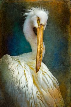 Finer Feathered Friends-American White Pelican | Flickr - Photo Sharing!