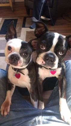 Trouble finds them! #dogs #pets #BostonTerriers facebook.com/sodoggonefunny