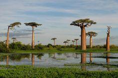 Baobá, um ecossistema em uma única árvore  O baobá pode sustentar a vida de incontáveis criaturas. Dos minúsculos insetos que perambulam por suas cavidades até o elefante, o maior mamífero terrestre, que procura a água estocada no tronco para sobreviver às duras condições dos desertos da África. Aves fazem seus ninhos nos galhos, babuínos devoram suas frutas, morcegos bebem o néctar de suas flores. É um mundo em forma de planta