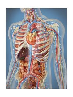 'Human body showing heart and main circulatory system position.' Poster by StocktrekImages - 'Human body showing heart and main circulatory system position.' Poster by StocktrekImages - The Human Body, Human Body Organs, Human Body Systems, Human Body Parts, Human Eye, Human Anatomy Drawing, Human Body Anatomy, Human Anatomy And Physiology, Anatomy Organs